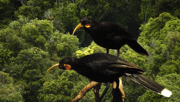 Перо редких птиц гуйя