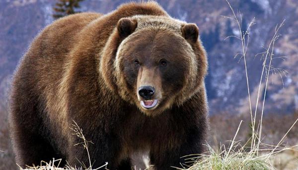 медведь гризли в горах
