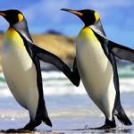 Интересные факты об императорских пингвинах